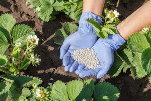 Чем подкормить клубнику весной для хорошего урожая Фото Видео