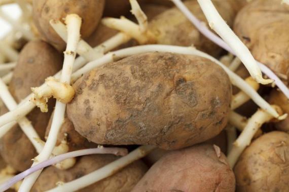 Что делать, если картофельные клубни проросли раньше времени
