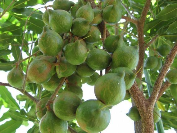 Макадамский орех при похудении