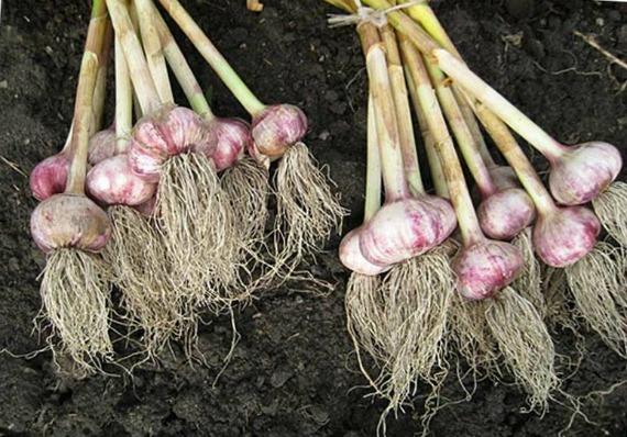 Сбор урожая и правила хранения