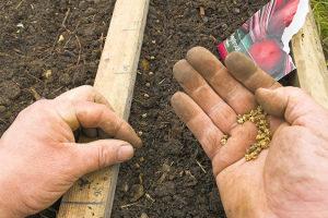 Посадка свеклы весной в открытый грунт семенами Сроки посадки Видео