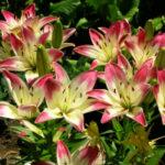 Лилии: посадка и уход в открытом грунте весной