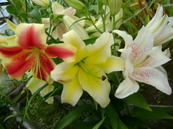 Выращивание лилии в открытом грунте