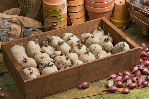 Различные способы подготовки картофеля к посадке