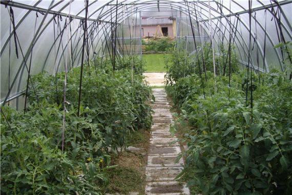 Общие правила по подвязке томатов в теплице