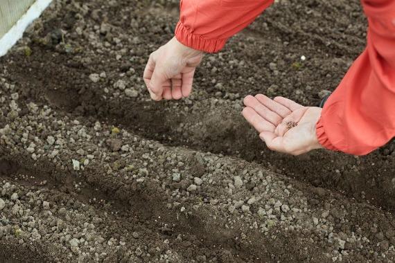Правила посева в открытый грунт