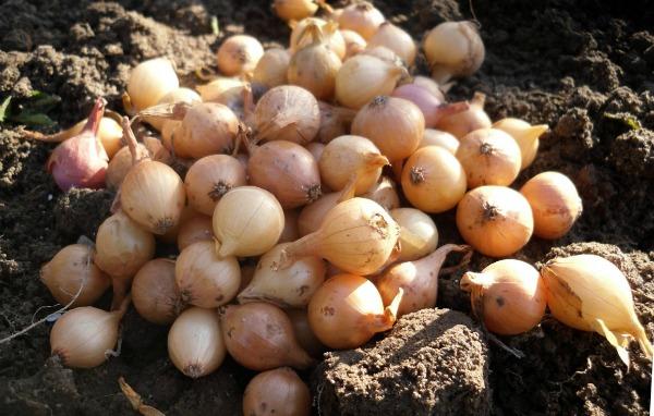 Выбор качественного лука - севка для посадки