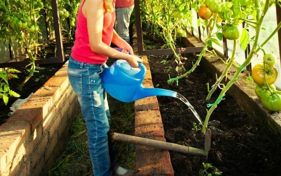 Правила полива томатов в теплице