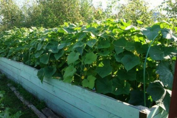 Выращивание огурцов на теплой грядке
