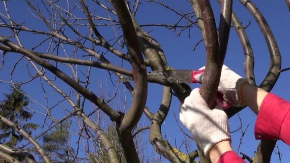 Правила и схемы обрезки яблонь в зависимости от возраста