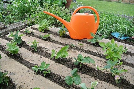 Чем подкормить клубнику для хорошего урожая
