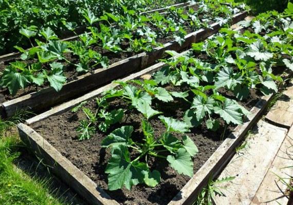 Как вырастить кабачки из семян в открытом грунте