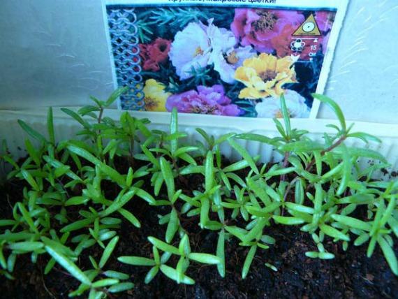 Выращивание портулака из семян в домашних условиях