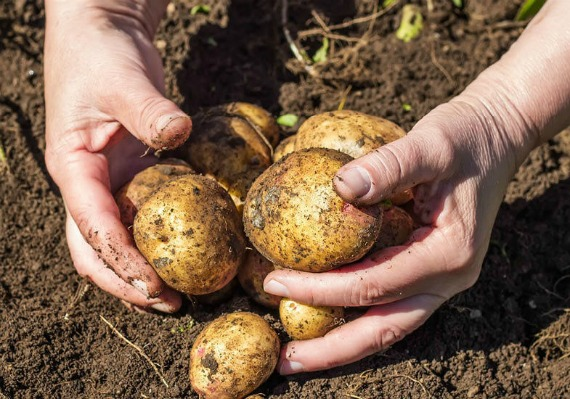 Как отобрать хорошие клубни картофеля для посадки