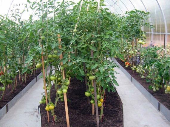 Особенности подвязки средних и высоких томатов
