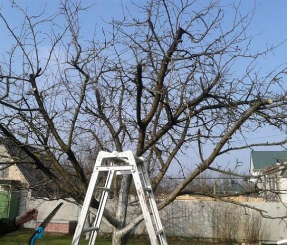 Старые яблони