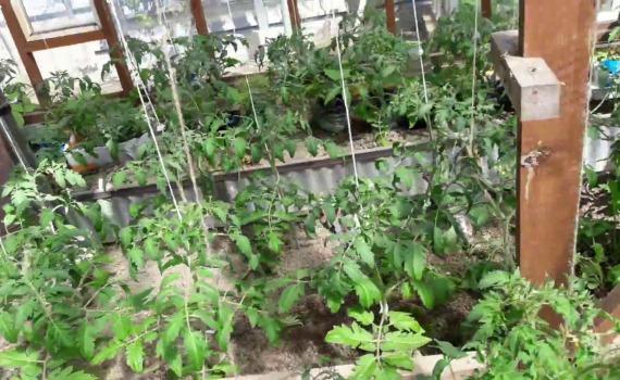 Какие применяют методы подвязки томатов