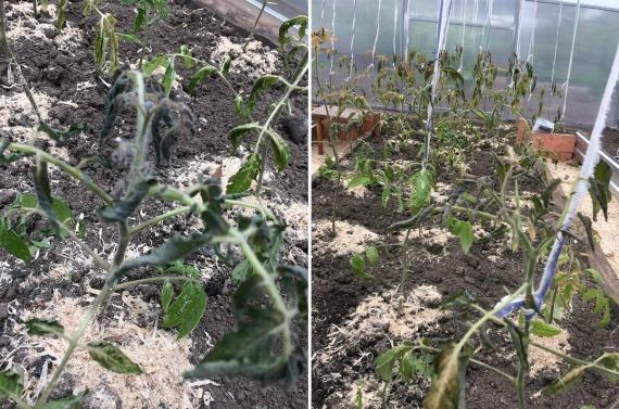 Как реанимировать пострадавшую от заморозков рассаду
