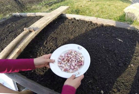 Как правильно посадить яровой чеснок в открытый грунт