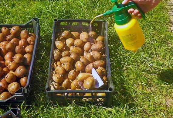 Чем и как обработать клубни картофеля перед посадкой