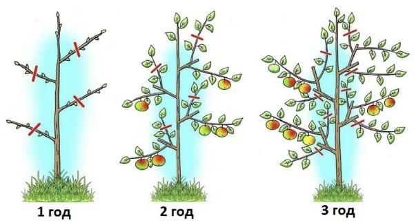 Особенности обрезки колоновидной яблони