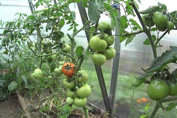 Чем подкормить помидоры в теплице, чтобы быстрее краснели