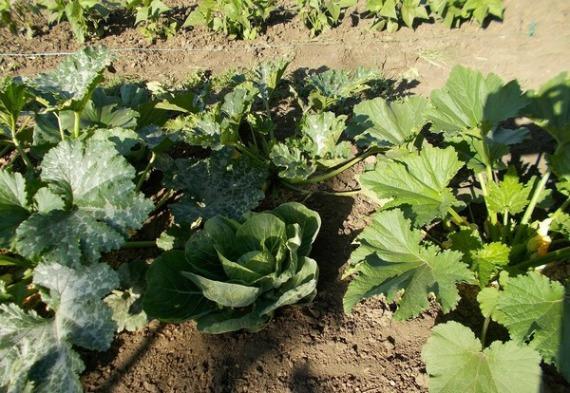 Что можно посадить рядом с кабачками — благоприятное соседство