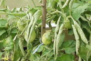 Болезнь помидоров закручиваются листья