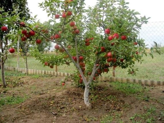 Правильное формирование кроны карликовых яблонь