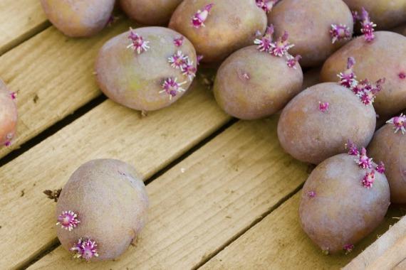 Обработка картофеля перед посадкой народными средствами