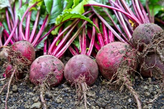 Уборка свеклы и правила хранения урожая