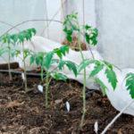 Как защитить помидоры от заморозков в теплице