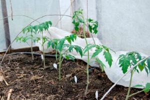 Как уберечь помидоры от заморозков в теплице Чем укрыть рассаду помидор