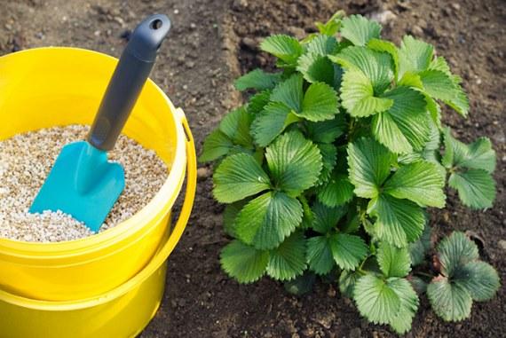 Чем подкормить ремонтантную клубнику весной