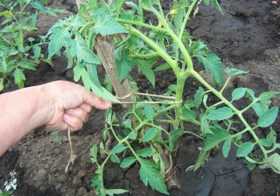 Какие материалы применяют для подвязывания томатов