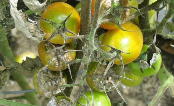 Чем опасен фитофтороз для томатов