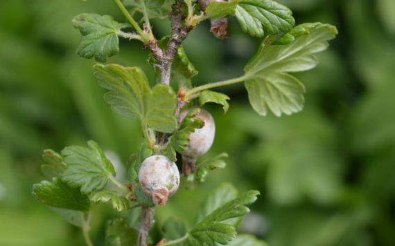 Причины появления белого налета на ягодах крыжовника