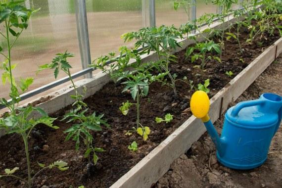Как часто нужно подкармливать томаты в теплице