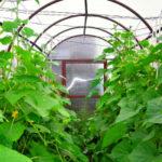 Уход за огурцами в теплице от посадки до урожая