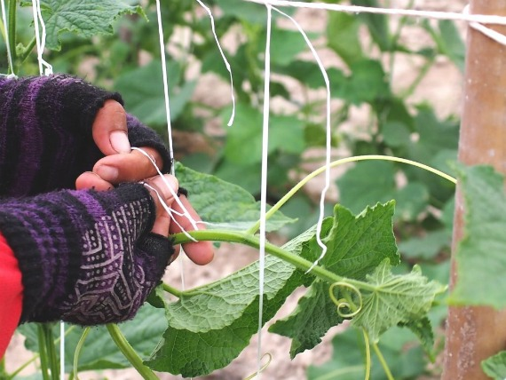 Правила подвязывания огурцов в открытом грунте
