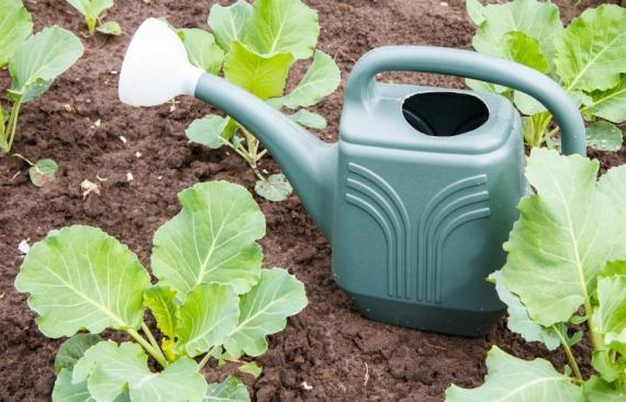Чем удобрять капусту после высадки в грунт