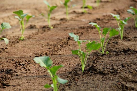 Когда начинать подкармливать капусту после высадки