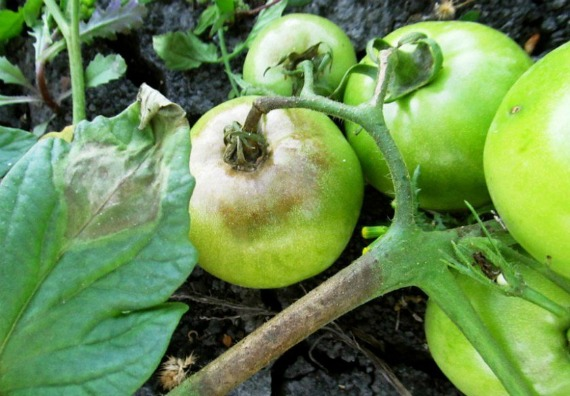 Причины развития фитофтороза у томатов