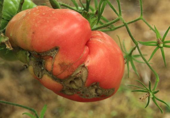 Деформированные плоды