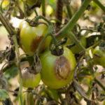 Болезни и вредители томатов: описание с фото и способы лечения