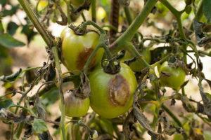 Болезни и вредители помидоров и борьба с ними фото Видео