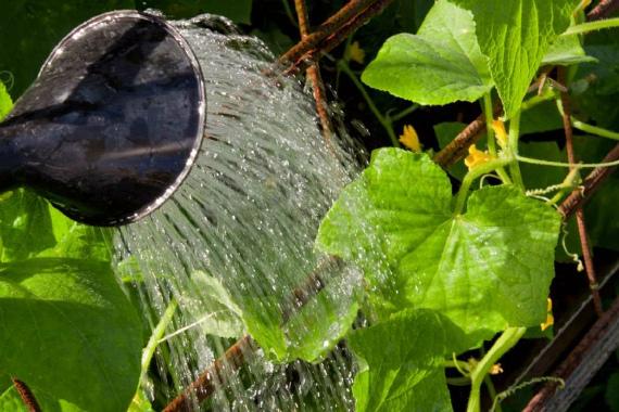 Чем подкармливать огурцы во время цветения и завязывания плодов