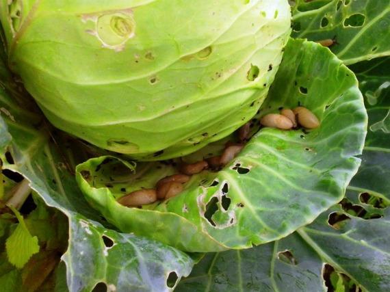 Опасность слизней для капусты