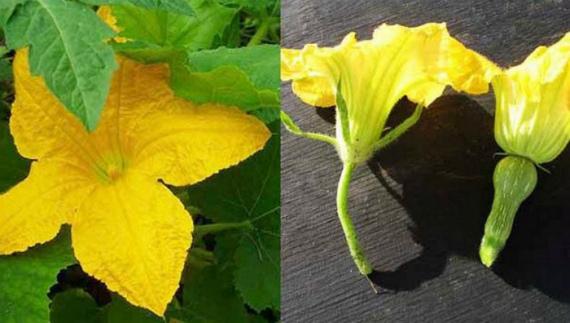 Можно ли обрывать пустоцветы у кабачков