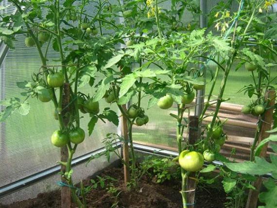 Подкормка томатов во время плодоношения